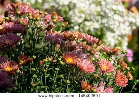 Pink Daisies In The Garden