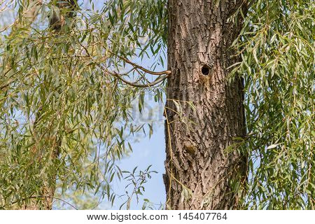 A woodpecker hole in a willow tree close to the Dnieper river in Kiev Ukraine