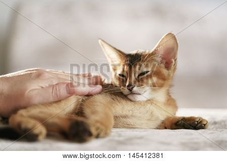Purebred sleepy abyssinian kitten resting and stroked by hand, portrait