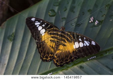 Tropical Butterfly Parthenos Sylvia Exotic Wildlife Impression