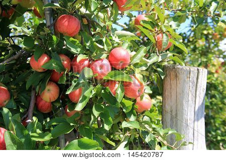 Grouping of apples on branches, ready to pick and bring to market.