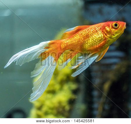 Сomet Or Comet-tailed Goldfish (carassius Auratus) In Aquarium
