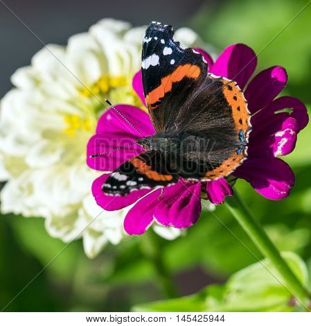 Red Admiral (vanessa Atalanta) Butterfly On Zinnia Elegans Flowers