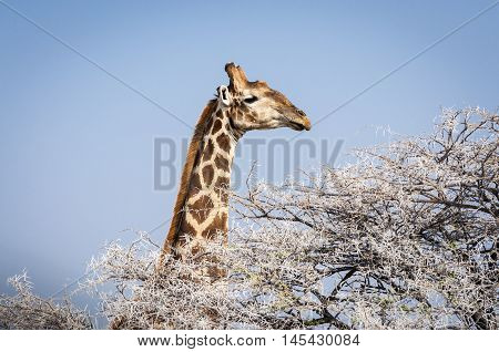 Head of a Giraffe eating from a tree in the Etosha National Park in Namibia Africa; Concept for travel in Africa and Safari