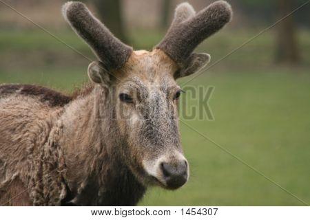 P�¨Re David'S Deer