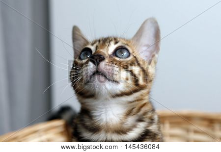 Small young bengal kitten in a basket