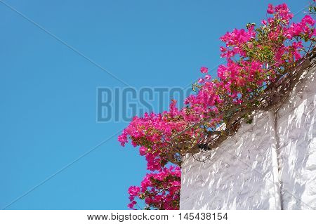 Bougainvillea Flowers on a Blue Sky Background Climbing up the White Walls of a Traditional House in Hydra Island in Greece