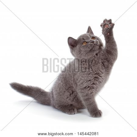 Pretty British Shorthair Blue Kitten Isolated On White