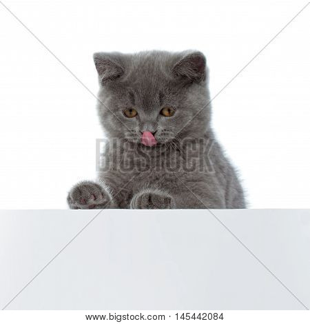 Pretty British Shorthair Blue Kitten Isolated On White