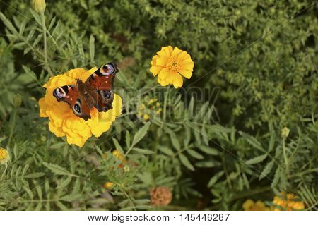 The butterfly sits on a flower. The butterfly is the representative of fauna of Europe. The Latin name - Inachis io. Beautiful insect.