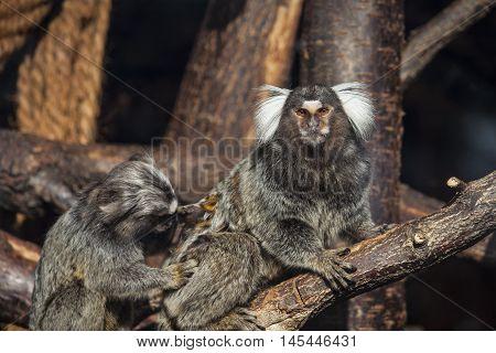 Monkey Primate Wildlife Jungle Looking Nature Impression