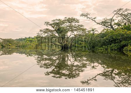 Mangroves Trees Reflection On A Lake In Amazonian Rainforest South America