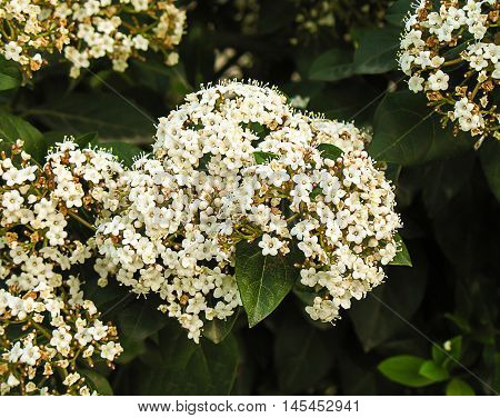The plant with tiny white flowers in the garden