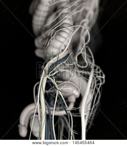 Male urinary and reproductive system. 3d illustration