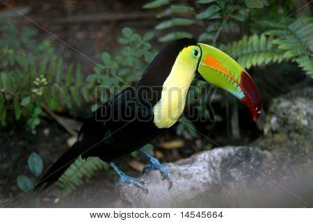 Toucan Ramphastos sulfuratus