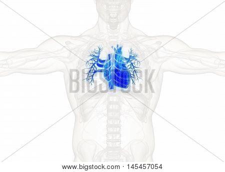 Human heart. in rib cage, xray. 3d illustration.