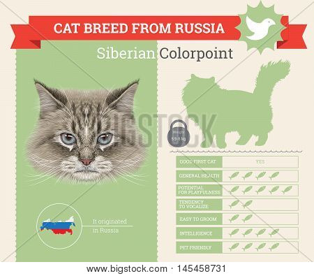 Siberian Colorpoint Cat breed vector infographics. This cat breed from Russia