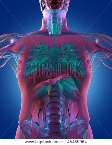 Bronchi, human anatomy lungs, futuristic scan technology.3d illustration.