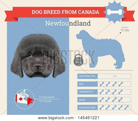 Newfoundland dog breed vector infographics. This dog breed from Canada