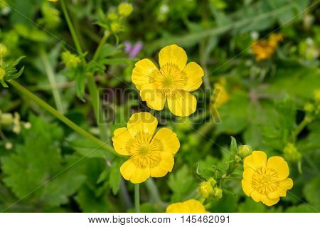 Yellow Buttercup Flowers In Green Grass