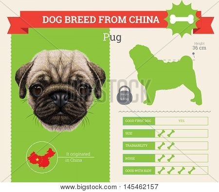 Pug dog breed vector infographics. This dog breed from China