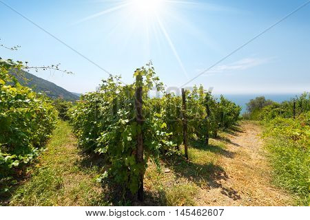 Vineyard in summer with sun rays and blue sea in Liguria Cinque Terre (Five Lands). Italy Europe