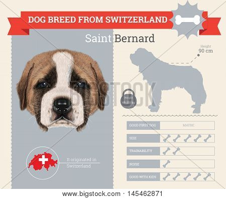 Saint Bernard dog breed vector infographics. This dog breed from Switzerland