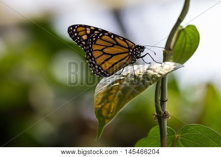 Tropical Butterfly Forest Queen Nature Wildlife Impression