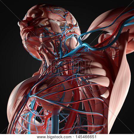 Human anatomy torso, muscles, heart,veins. 3D Illustration.