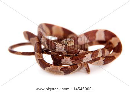 The blunthead tree snake, mantodes cenchoa, isolated on white background
