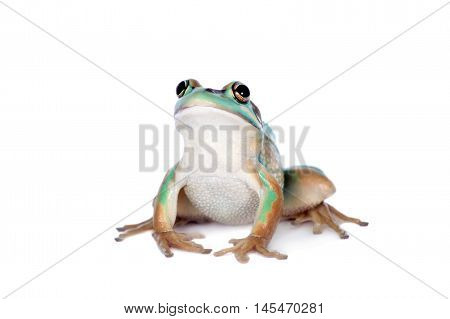 The green and golden bell frog, Litoria aurea, isolated on white background