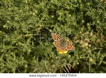 The butterfly sits on a flower. The butterfly is the representative of fauna of Europe. The Latin name - Issoria lathonia. Beautiful insect.