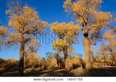 Trees With Yellow Leaves