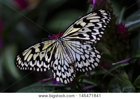 Tropical Butterfly Large Tree Nympf Exotic Nature Impression