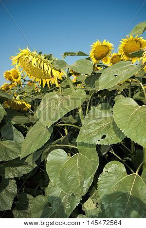 Sunflower with sunflower field and blue sky. Sunflowers blooming. Beautiful sunflowersbig sunflowers yellows flowers.