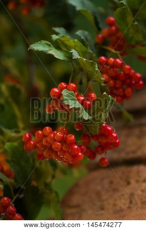 Red fruit of guelder-rose against the background of a brick wall. Seasonal autumn concept.