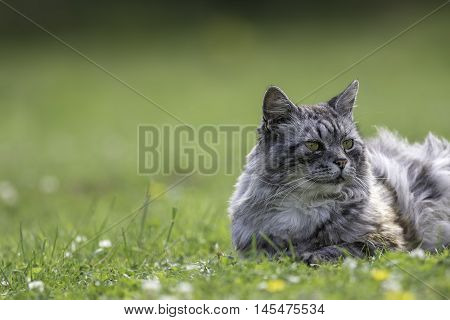 Domestic cat (this one is actually semi-feral) laying on grass with copy space. Blurred background provides space for text.