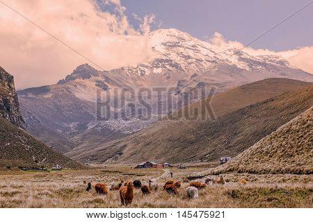 Herd Of Llamas Grazing At Chimborazo Volcano High Altitude Ecuador