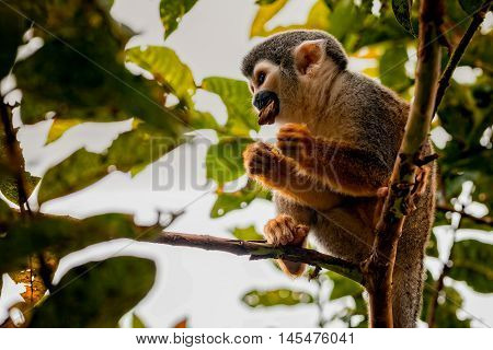 Close-Up Of A Common Squirrel Monkey National Park Yasuni Ecuador South America