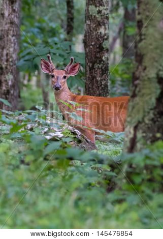 Young Buck In the Woods standing at attention