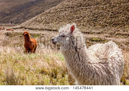 Herd Of Llamas Eating Pasture Near Chimborazo Volcano Ecuador South America