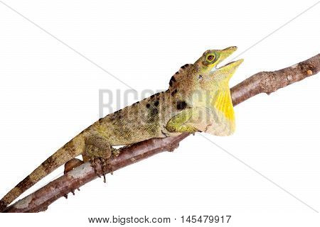 Dactyloa fraseri lizard isolated on white background