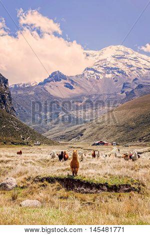 Small Herd Of Llamas Grazing In National Park Chimborazo Ecuador South America