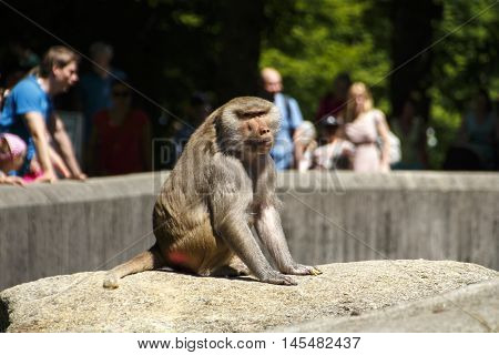 Hamadryas baboon in the Munich zoo (Tierpark Hellabrunn) with unidentified people in the background