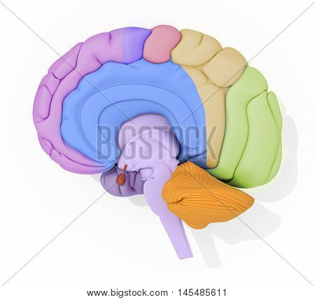 Human brain with color coded areas. 3d illustration