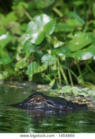 Gator 35