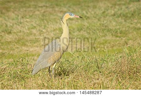 whistling heron perched in the grass field