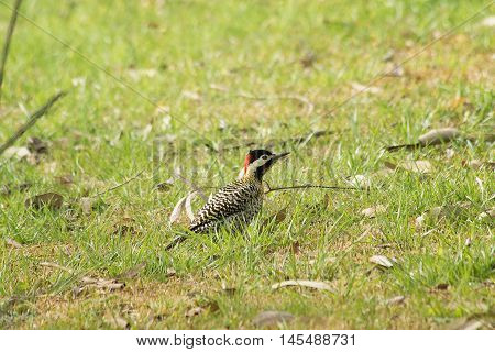 A Woodpecker bird perched on the field