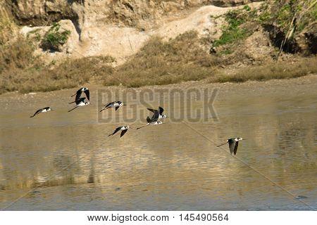 Black necked Stilt flying in the lagoon