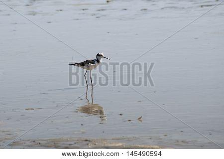 Black necked Stilt fishing crabs in the lagoon